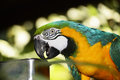 Parot Royalty Free Stock Photo