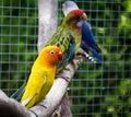 Parrot agapornis fischeri fischer s lovebird in zoo Royalty Free Stock Photos