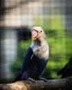 Parrot agapornis fischeri fischer s lovebird in zoo Royalty Free Stock Images