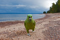 Parrot by the beach Royalty Free Stock Photo