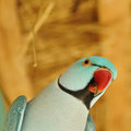 Parrot bird Royalty Free Stock Photo