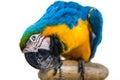 Parrot  bird  animal Royalty Free Stock Photo