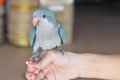 Parrot bird blue on hand Stock Image