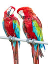 Parrot birds two colorful standing in a row stare each other Stock Image