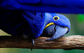 Parrot a blue looking under his wing Stock Photos