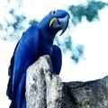 Parrot blue Spix`s macaw close up sitting on the tree Royalty Free Stock Photo