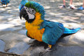 Parrot blue and yellow macaw ara ararauna Royalty Free Stock Photography