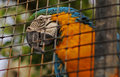 A parrot in a cage closeup of colorful Royalty Free Stock Photography