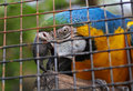 A parrot in a cage closeup of colorful biting piece of wood Royalty Free Stock Photography