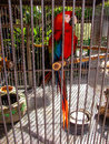 Parrot of the Canary Islands Royalty Free Stock Photo