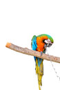 Parrot in captivity isolated on white Stock Photography