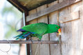 Parrot with chain bind green Royalty Free Stock Photography