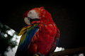 Parrot closup Royalty Free Stock Photo
