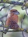https---www.dreamstime.com-stock-photo-parrot-crossbill-loxia-pytyopsittacus-parrot-crossbill-its-natural-habitat-image107047859
