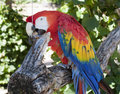 Parrot Eating a Nut Royalty Free Stock Images