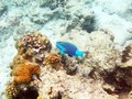 Picture : Parrot fish the in