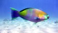 Parrot fish in Red sea Royalty Free Stock Photo