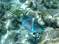 Parrot Fish on the Reef, Maldives Stock Image