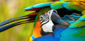 Parrot with head under wing portrait of colorful feathers Royalty Free Stock Photo