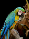 A Parrot licking claw Royalty Free Stock Photo