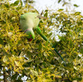 A Green Parrot