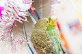Parrot plays with mirror Royalty Free Stock Image