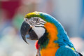 Parrot portrait of the blue and yellow macaw ara ararauna Royalty Free Stock Images