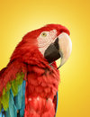 Parrot red blue macaw on yellow background Stock Images