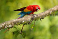 Parrot Scarlet Macaw, Ara macao, in green tropical forest, Costa Rica, Wildlife scene from tropic nature. Red bird in the forest.