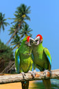 Parrot severe macaw on branch on tropical background the white sand beach white blue sky Royalty Free Stock Photo