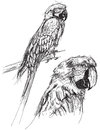 Parrot sketches hand drawn vector Royalty Free Stock Photo