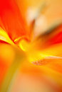 Parrot tulip abstract macro of Stock Photography