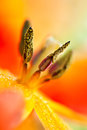 Parrot tulip heart macro of Stock Photography