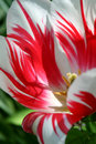 Parrot tulip Royalty Free Stock Photo