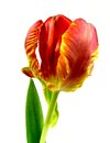 Parrot tulip a yellow red with leaf Royalty Free Stock Image