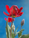 Parrot tulips red shot on blue background Royalty Free Stock Photo