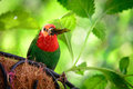 Parrotfinch close up of a red headed erythrura pealii in its nest key west monroe county florida usa Stock Images