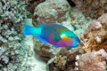 Parrotfish Foto de Stock Royalty Free