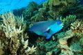 Parrotfish Royaltyfria Bilder