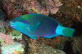 Parrotfish Stock Photo
