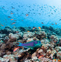 Parrotfish on a reef Stock Images