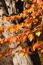 Parrotia persica tree detail