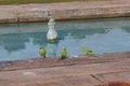 Parrots on the edge of a fountain Royalty Free Stock Photo