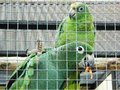 Parrots are lovebirds small the body length of cm wing cm and the tail cm weight g heads relatively large the color of Royalty Free Stock Images