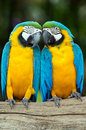 Parrots pair of colorful macaws Stock Photos