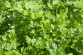 Parsley. Stock Photography