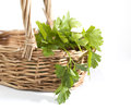 Parsley bunch Stock Photos