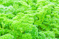 Parsley curly leaves closeup in the garden Royalty Free Stock Photos