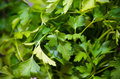 Parsley detail of some sprigs of Royalty Free Stock Photo