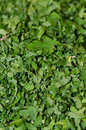 Parsley dry petroselinum hortense used as herb spice and vegetable Royalty Free Stock Images